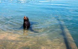 ` Abstreifen ` des Kalifornischen Seelöwen im Jachthafen in Cabo San Lucas Baja Mexiko Lizenzfreie Stockfotografie