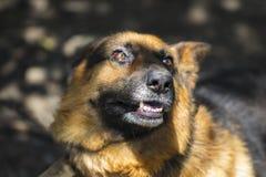 Abstreifen erzürnter Schäferhund draußen Der Hund schaut aggressiv, Stockfotografie