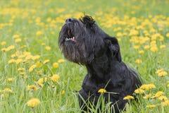 Abstreifen riesiger schwarzer Schnauzer-Hund Stockbild