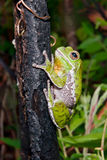 Abstreifen Treefrog Lizenzfreies Stockfoto