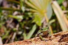 Abstreifen Treefrog Stockfotos