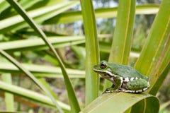 Abstreifen Treefrog Stockfotografie