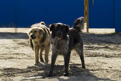 Abstreifen zwei streunender Hunde Stockfotos