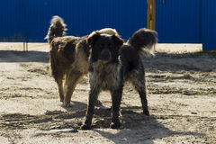 Abstreifen zwei streunender Hunde Lizenzfreie Stockfotos