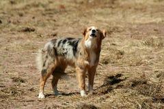 Abstreifenbauernhofhund mit Heck zwischen ihm ist Fahrwerkbeine Lizenzfreie Stockfotografie