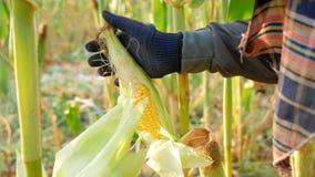 Abstreifender Mais des nahen hohen Landwirts und Ausbrechen des Stammes stock video