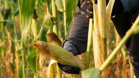 Abstreifender Mais des nahen hohen Landwirts und Ausbrechen des Stammes stock footage