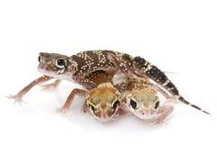 AbstreifenGecko (Nephrurus milii) Lizenzfreies Stockbild