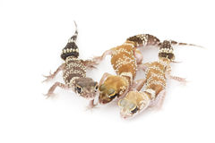 AbstreifenGecko (Nephrurus milii) Stockbild