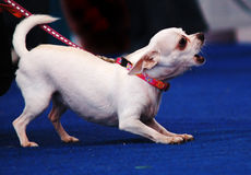 Abstreifenhund Stockbild