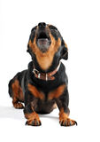 Abstreifenhund Stockfotografie