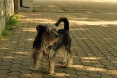 Abstreifenhund in den städtische Umwelt-Stadt-Straßen Stockbild
