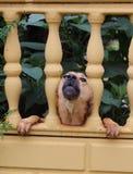 Abstreifenhund, der sein Haus schützt Stockbild