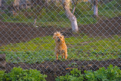 Abstreifenhund hinter dem Zaun Stockbild