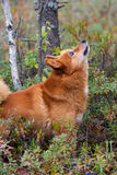 Abstreifenjagdhund Lizenzfreies Stockfoto
