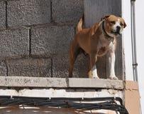 Abstreifenknurrenhund Lizenzfreies Stockfoto