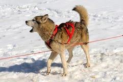 Abstreifenschlittenhund Lizenzfreies Stockfoto