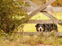 Abstreifentrauerrandcolliehund hinter Zaunlandhaus stockbild