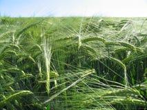 Abstruse wheat field. Wheat field in wind Stock Photo