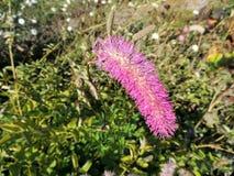 Abstumpfendes burnet (Sanguisorba-obtusa), Rosaceaefamilie Lizenzfreie Stockfotos