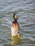 Absztyfikować kaczki obraz stock