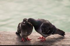 Absztyfikować zdziczałych gołębie Zdjęcia Stock