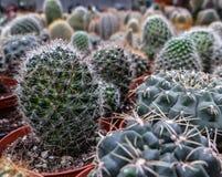 Abteilung des Kaktus in einem Blumenladen Lizenzfreie Stockfotografie