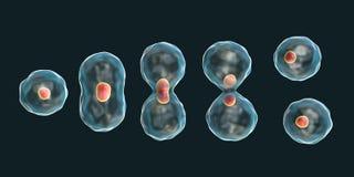 Abteilung einer Zelle, Mitosekonzept stock abbildung