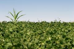 Abtrünniges Getreide Lizenzfreies Stockbild