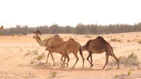 ABU DHABI FÖRENADE ARABEMIRATEN - APRIL 3rd, 2014: grupp av den gulliga singel-ha sex med kamlet eller dromedar i härlig liwa Royaltyfri Fotografi
