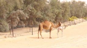 ABU DHABI FÖRENADE ARABEMIRATEN - APRIL 3rd, 2014: Gullig singel-ha sex med kamel eller dromedar i härlig liwaöken i Royaltyfria Foton