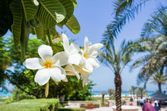 Abu Dhabi I sommaren av 2016 Den gröna oasen på hotellSten Regis Saadiyat Island Resort Arkivbild