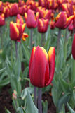 abu Hassan tulipanu tulipa Obraz Royalty Free