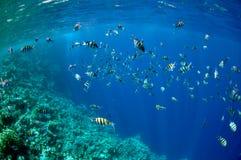 abudefduf珊瑚钓鱼红色礁石海运 库存照片
