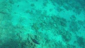 Abudefduf i Zebrasoma veliferum pływania zbliżamy koral zbiory wideo