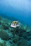 abudefduf korala major rafowy saxatilis sierżant Fotografia Royalty Free