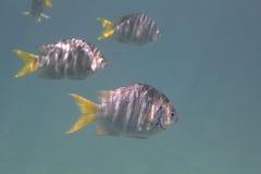 Abudefduf notatus ist Spezies von Damselfish herein Stockbild