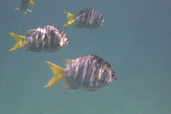 Abudefduf notatus is a species of damselfish in Stock Image