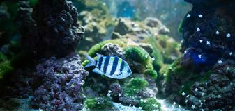Abudefduf sexfasciatus. Fish swimming in the ocean, against a background stock photography