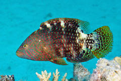 Abudjubbe wrasse Royalty Free Stock Photos