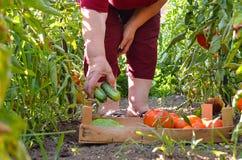 Abuela que coge los tomates y los pepinos frescos en el Garde Imagenes de archivo