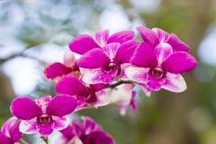 Abumdant het bloeien van Phalaenopsis, Mottenorchidee Stock Foto