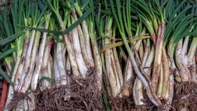Abunch de las cebollas galesas recién cosechadas foto de archivo libre de regalías