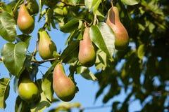 Abundância das peras que crescem em uma árvore Fundo do céu azul imagem de stock royalty free