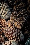 Abundância de cones do pinho foto de stock