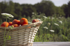 Abundância de tomates imagem de stock royalty free