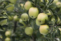 Abundance of apples Royalty Free Stock Images