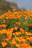 Close-up of a profusion of golden California Poppies growing wild. An abundance of blooming California poppies and  wildflowers grown wild in a green meadow in royalty free stock image
