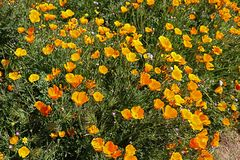 Profusion of golden California Poppies growing wild. An abundance of blooming California poppies and  wildflowers grown wild in a green meadow in California`s royalty free stock photo