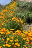Profusion of golden California Poppies growing wild. An abundance of blooming California poppies and  wildflowers grown wild in a green meadow in California`s royalty free stock images
